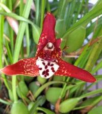 orquidea coco 55