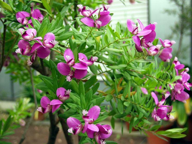 Arbusto-borboleta
