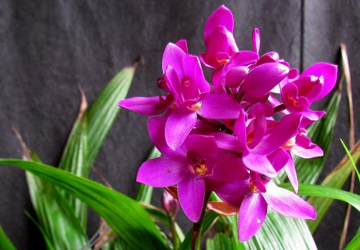 Spathoglottis unguiculata - Orquídea-grapete