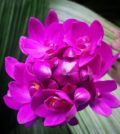 orquidea grapete 99