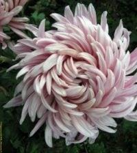 foto flor face g 922