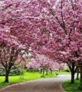 cerejeira ornamental foto 55