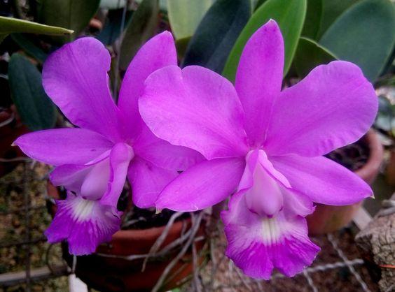 orquidea cattleya walkeriana 76