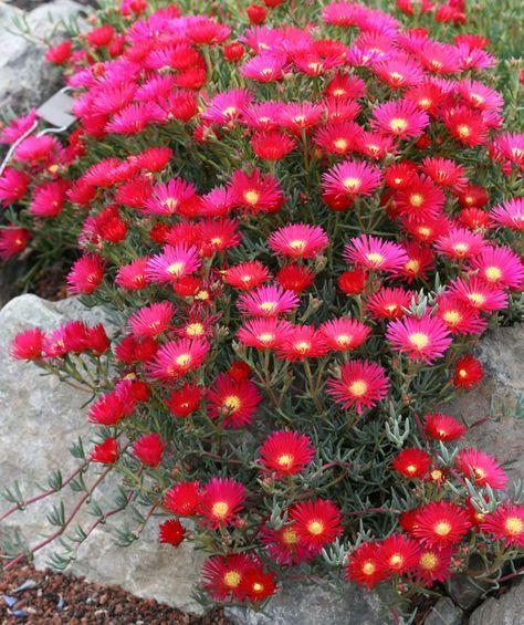 Cacto margarida – Lampranthus zeyheri - Família Aizoaceae