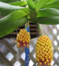 Robiquetia cerina orquidea abacaxi 55