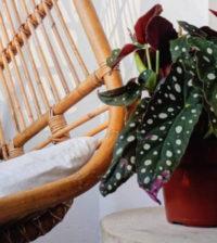 begonia maculata foto 56