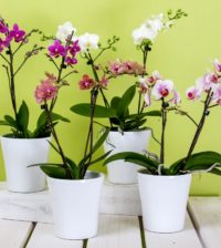 orchids phalaenopsis flower butterfly orchid blossom bloom plant bloom 763435.jpgd