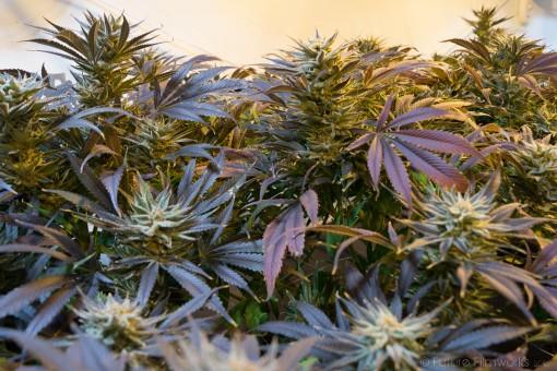 marijuana cannabis marihuana weed ganja medicine natural pot 1190583.jpgs
