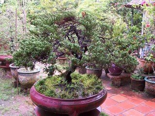 bonsais - Bonsai