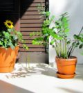 plants balcony plants plants on the balcony balcony sunflower palmuvehka zamioculcas summer 1021279.jpgs