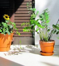 plants balcony plants plants on the balcony balcony sunflower palmuvehka zamioculcas summer 1021279.jpgs