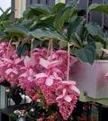 medinilla uva rosa 55