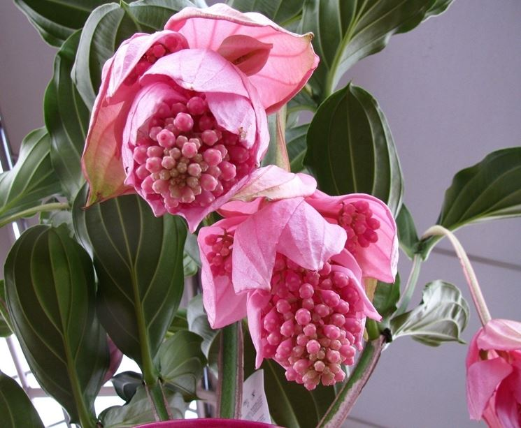 medinilla uva rosa 56 - Medinila