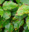 doencas nas plantas 88