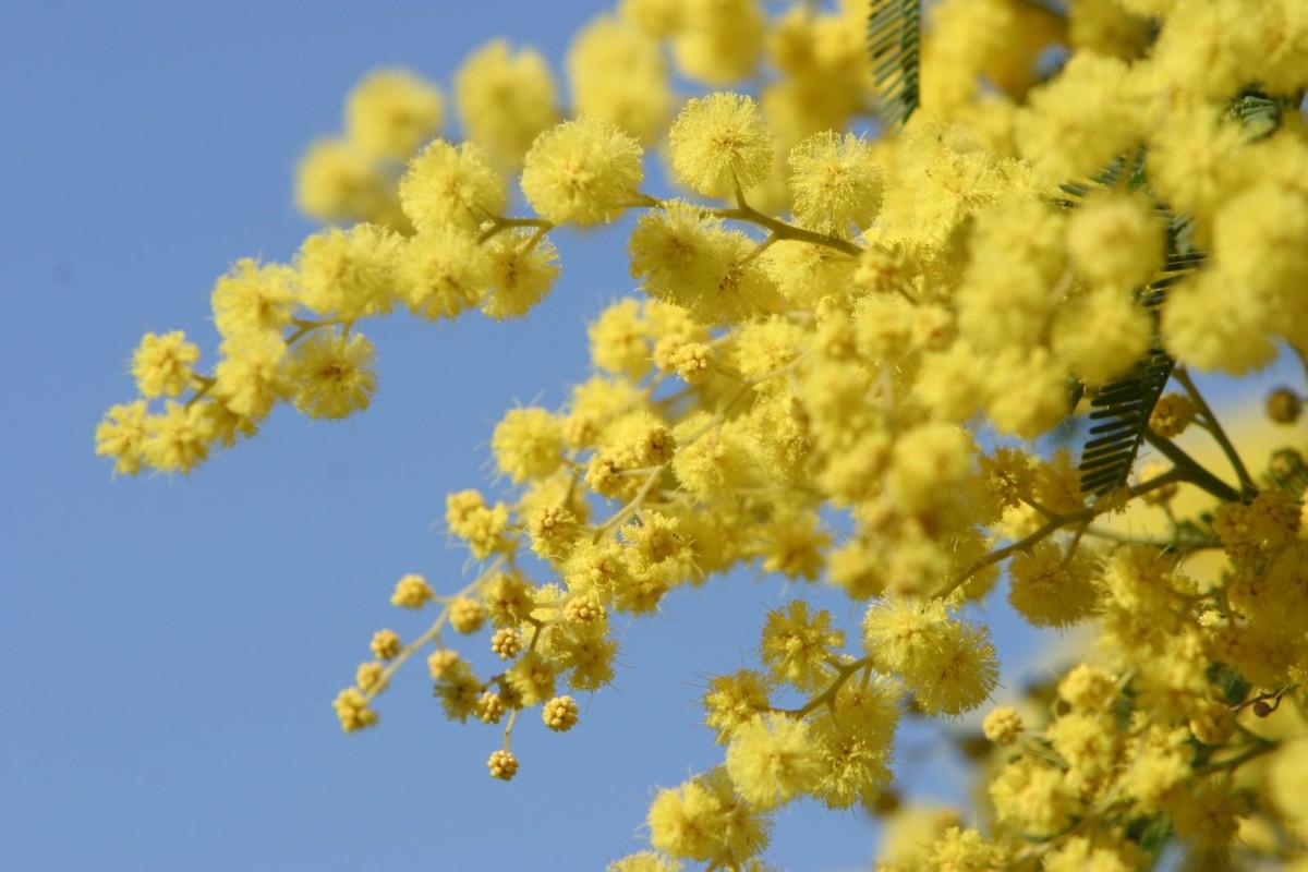 mimosa womenday s flowers 5 1316022 - Chuva
