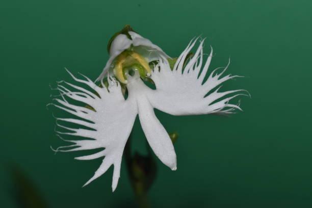 Orquídea-garça – Pecteilis radiata