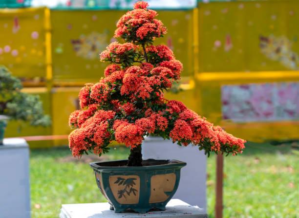 bonsai - Lojas De Bonsai