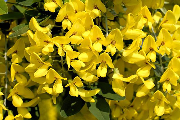 chuva-de-ouro Cassia fistula