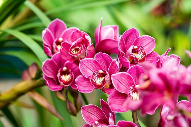Orquídea Cymbidium - Orquídeas