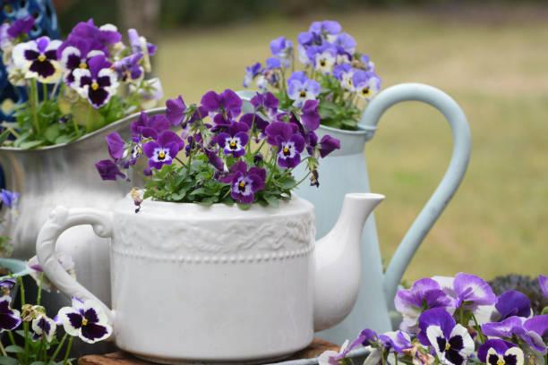 Amor-perfeito | familia Violaceae