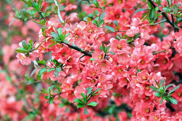 Marmeleiro-do-Japão Rosaceae