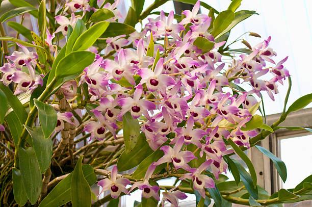 Orquidea Dendrobium loddigesii