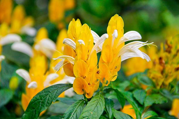 Camarão-amarelo