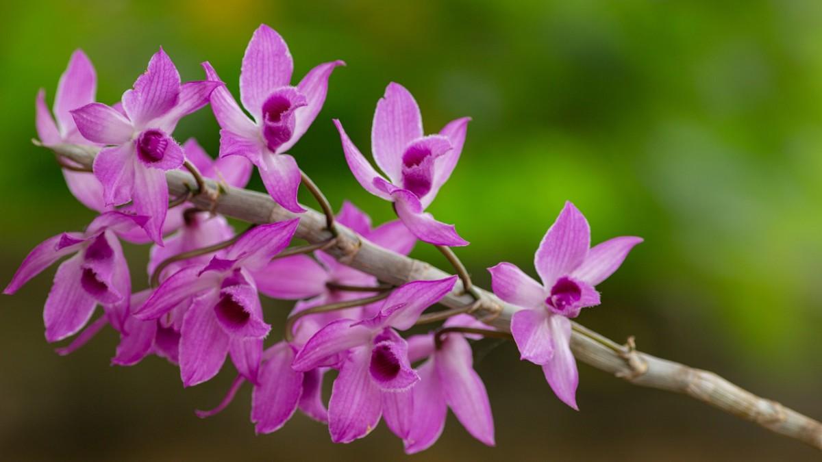 Orquídeas - Flores Mais Bonitas